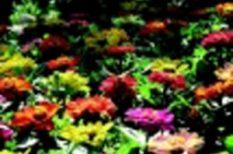 pünkösd, tavasz, ünnep, virág