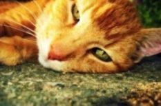 cica, macska, Macskakiállítás