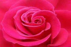 ezotéria, jézus, lélek, pünkösd, rózsa, vallás, virág