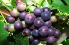 előétel, leves, ősz, recept, szőlő
