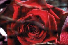 szerelem, szeretet, sztár, valentin