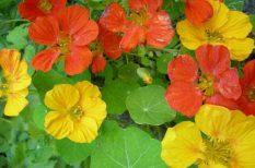 gyógynövény, gyulladásgátló, virág
