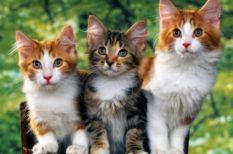 allergia, felmérés, macska