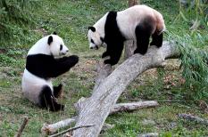 környezetvédelem, panda, spanyolország