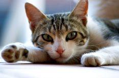 fertőzés, házi, macska, tuberkolózis