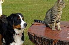 kedvenc, Kutyakullancs, macska