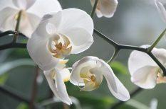 növényápolás, orchidea, virág