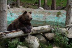 állatvédelem, medve, természet