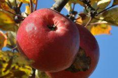 alma, egészség, kampány