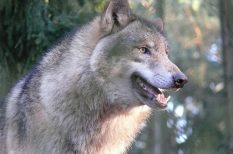 állatok, erdő, farkas, muflon, szarvasbőgés