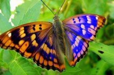 állat, érdekesség, pillangó