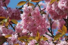 japán, kína, távol-kelet, virág