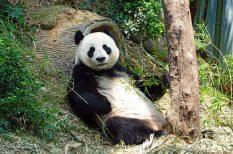 érdekesség, kína, panda, ünnep