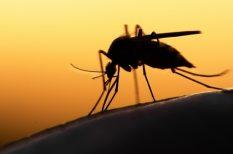 háziállat, szívférgesség, szúnyog