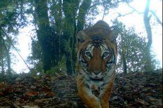 szaporodás, tigris, világnap, WWF