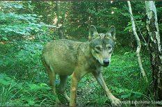 állatvédelem, farkas, nemzeti park, videó