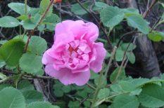 arcápolás, damaszkuszi rózsa, egészség, kozmetika, natúr, testápolás