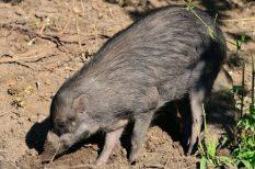 cebui disznó, Fővárosi Állat- és Növénykert, kritikusan veszélyeztetett faj, malac, szaporodás
