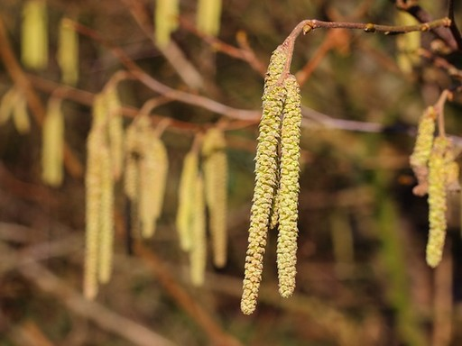 Nyírfa barkás virága, Kép: pixabay