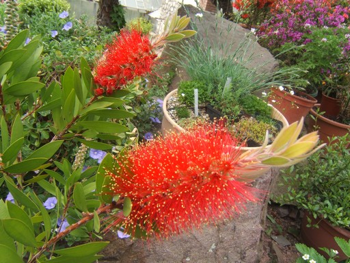 Piros kefevirág, azaz Callistemon, Kép: PTE