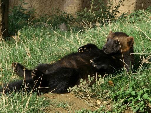 Rozsomák hanyatt fekve a fűben, Kép: wikimedia