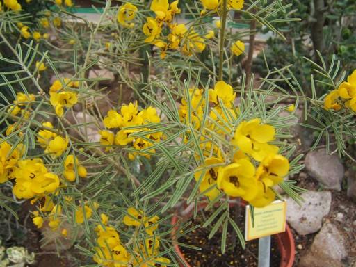 Sárga virágú Senna artemisoides, Kép: PTE