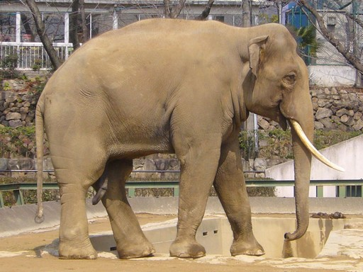 Ázsiai elefánt, Kép: wikimedia