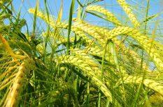 ár, élelmiszer, FAO, gabona, hús, olaj