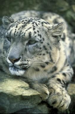 Hópárduc  feje közelről, Kép: WWFUS