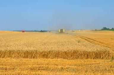 Aranyló búzamező aratás előtt, Kép: FAO/Oliver Thuillier