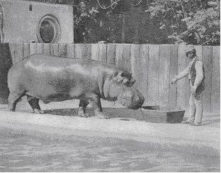 Archív felvétel Jónásról, az Állatkert első vízilováról