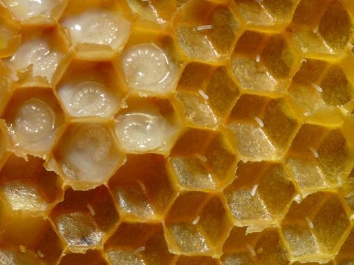 Méhpempő a kaptárban közelről, Kép: wikimedia