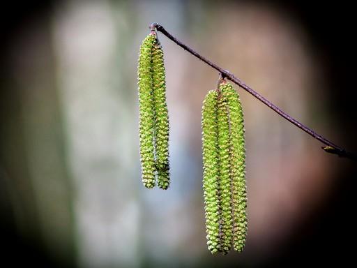 Zöld nyírfabarka közelről, Kép: pixabay