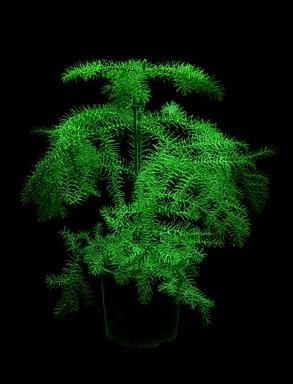 Sötétben világító növény, Kép: flavatar