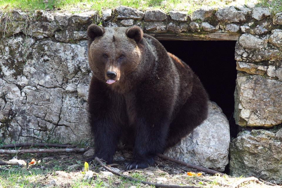 Barna medve ül a barlang előtt, nyelvét picit kudugja, Kép: pixabay