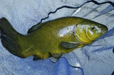 év hala, hal, környzetvédelem, szavazás, természetvédelem