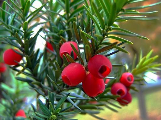 Tiszafa piros bogyói bogyói, Kép: pixabay