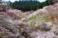 cseresznyefa, japán, szilvafa, tavasz, természet, virágzás
