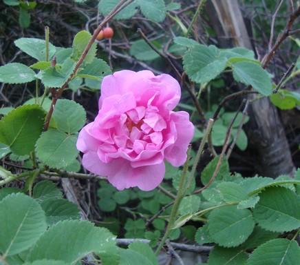 Damaszkuszi rózsa, Kép: wikipedia