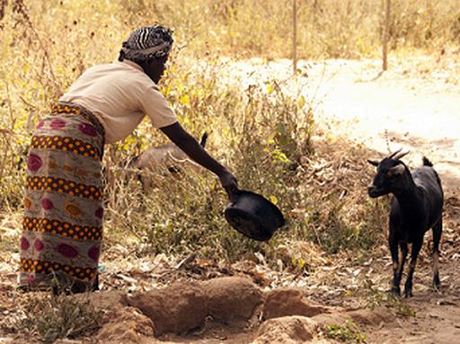 Kecskét etető asszony Malawiban, Kép: FAO/Arnos Gulmurila