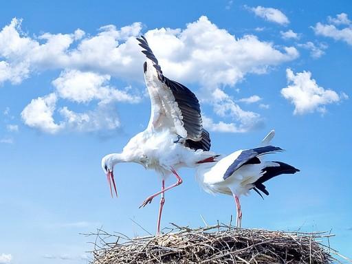 Gólyapár tollászkodik a fészekben, Kép: Pixabay