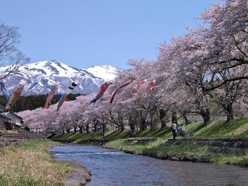 Csereszenyefavirágzás hegyekkel, Kép: Japánspecialista