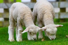 bárányfesztivál, gasztronómia, gyerekek, húsvét, ingyenes program, program, Vajdahugyadvár
