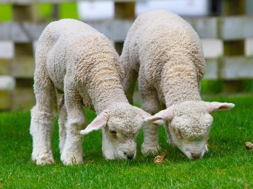 Húsvéti bárányok, Kép: pixabay