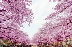 cseresznyefavirágzás, előrejelzés, Hanami, japán, meteorológia, sakura, ünnep