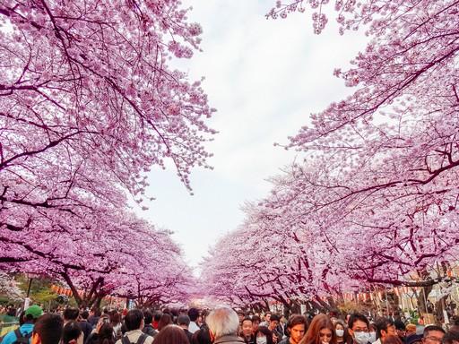 Japán cseresznyefavirágzás, Kép: Japánspecialista
