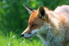 állatvédelem, egészség, kutya, róka, veszettség