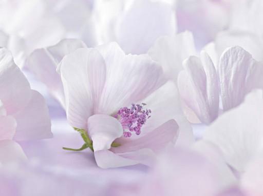 Fehérmályva virága, Kép: Weleda