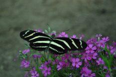 bab, Parajdi Lepkeház, pillangó, program, trópusi faj