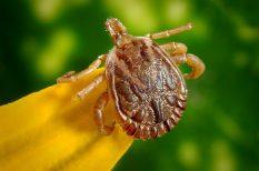 fertőzés, kullancs, lyme kór, magzat, terhesség, védőoltás